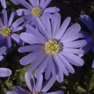 anemone_blanda_blue_shades