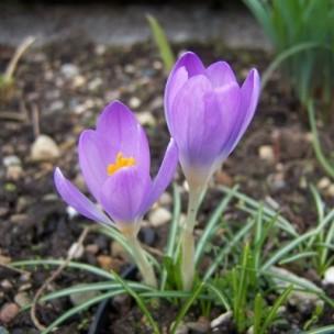 crocus_tommasinianus_whitwell_purple
