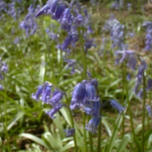 hyacinthoides_non_scripta_commercial_form