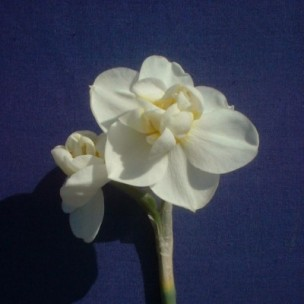 narcissus_cheerfulness