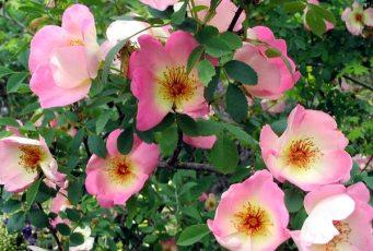 Rose-Fruhlingsmorgen