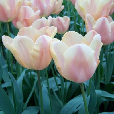 tulipa_apricot_foxx